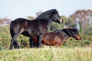 shetland-ponies-